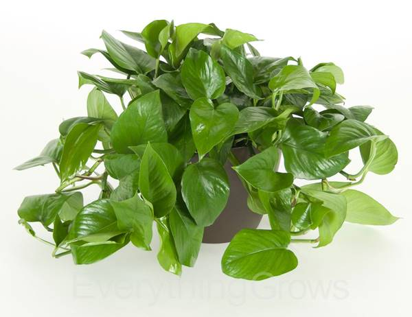 jade pothos in a container