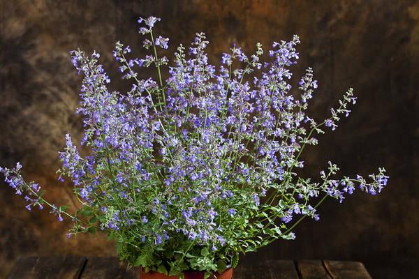 catnip herb in container