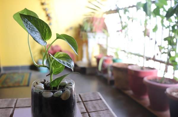 money plant in soil