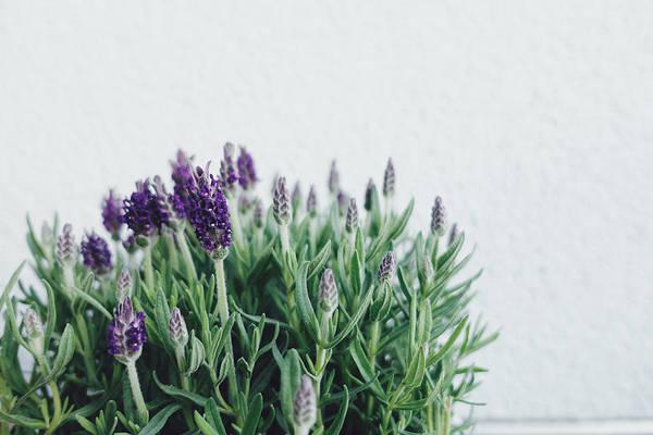 lavender herb close-up