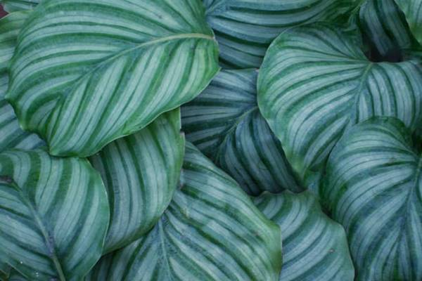 close up of calathea orbifolia plant