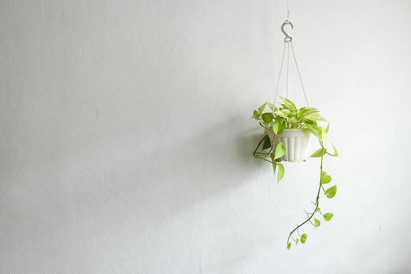 money plant in hanging basket