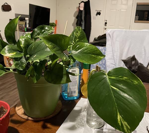 Hawaiian Pothos in a pot