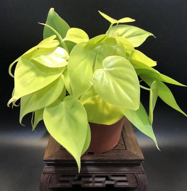 neon pothos in a pot