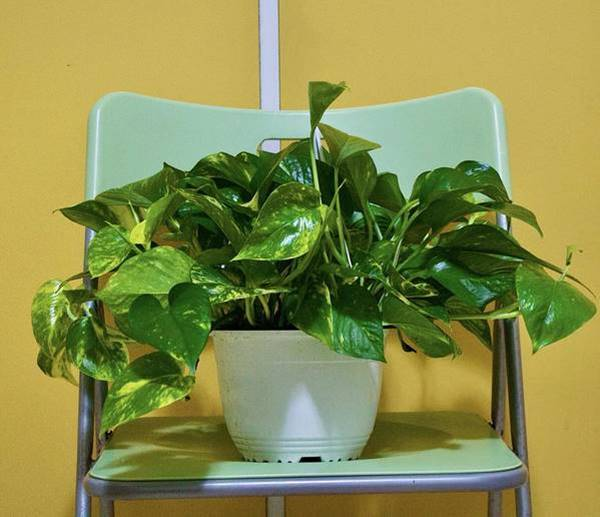 money plant in a container