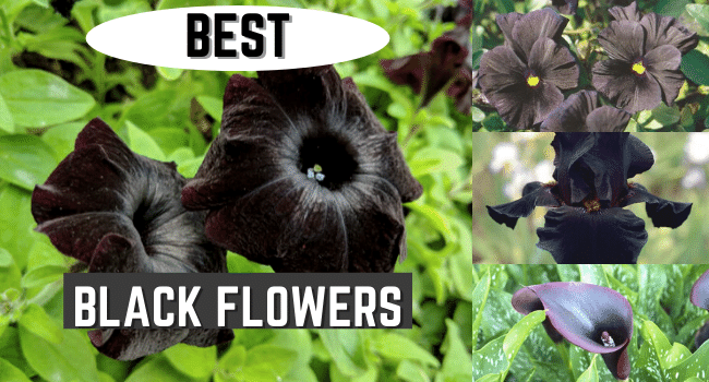 Best Black Flowers