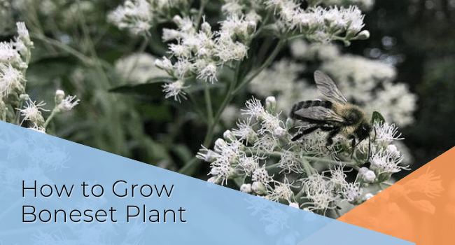 How to Grow Boneset Plant