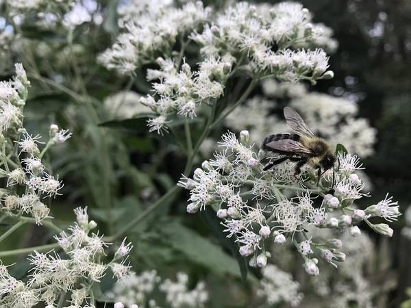 boneset plant care