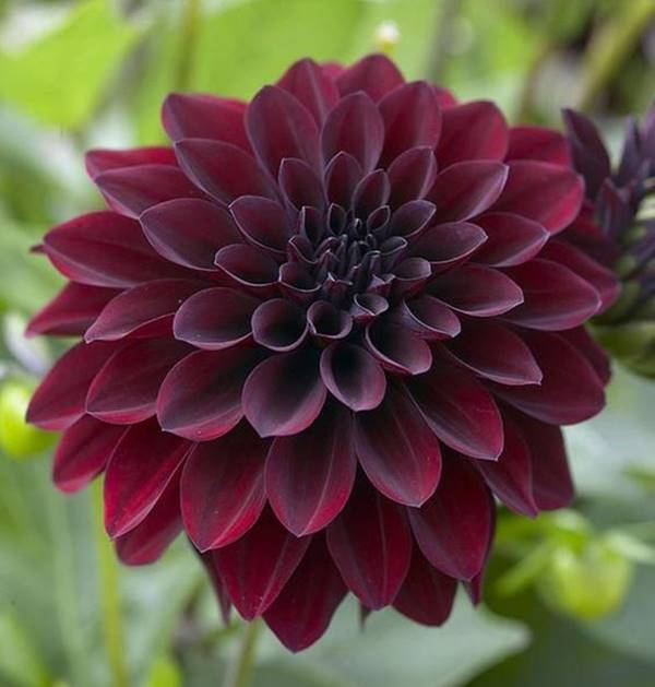 black dahlia bloom