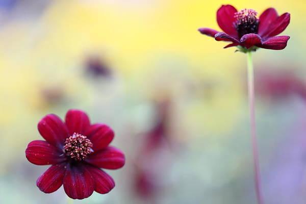 chocolate cosmos flower