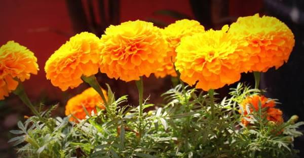 Mexican Marigold close up