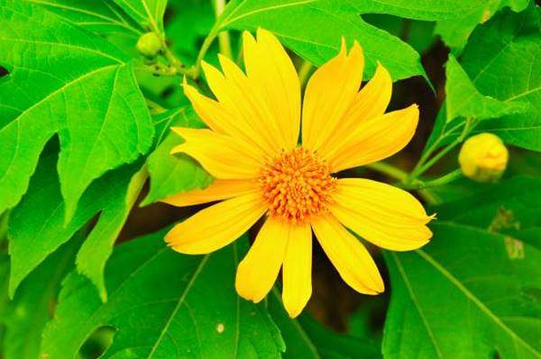 Mexican Sunflower close-up