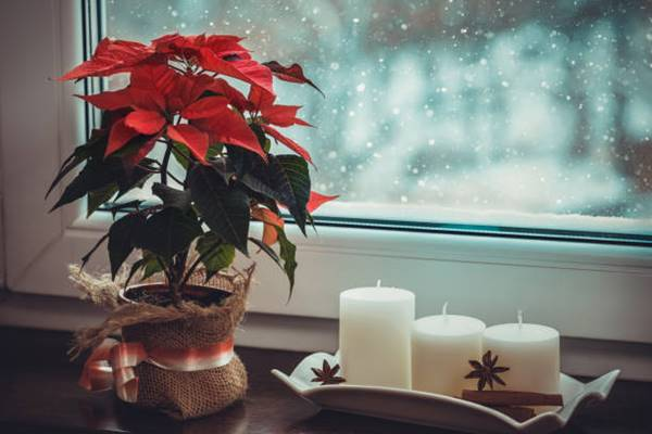 poinsettia plant in a container