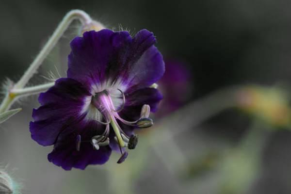 Dusky Cranesbill flower close up