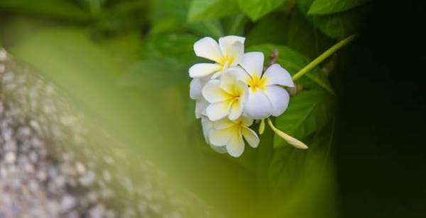 Mexican Frangipani flowers