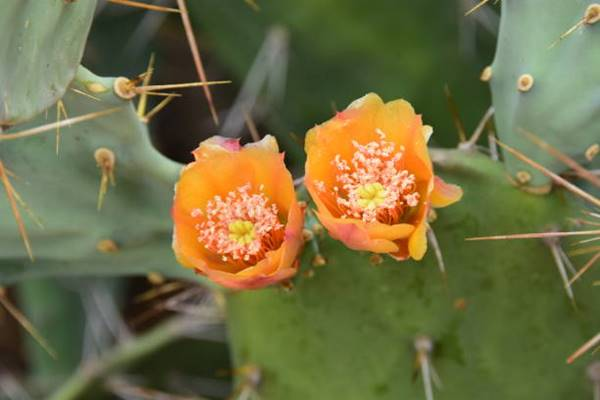 mexican cacti blooms close up