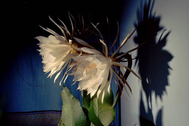Epiphyllum Oxypetalum cacti care