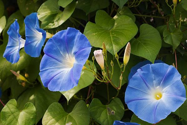 Mexican morning glory flowers close-up