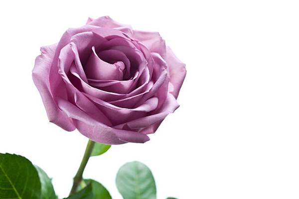 lavender rose close up