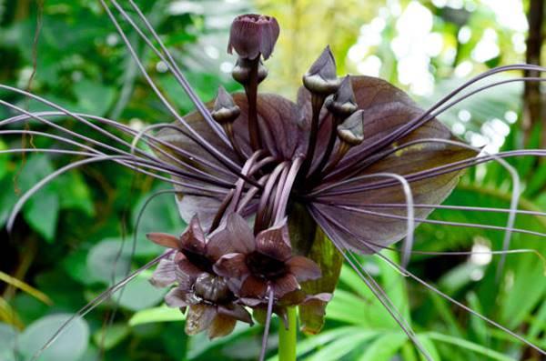 bat orchid ' Tacca chantrieri'