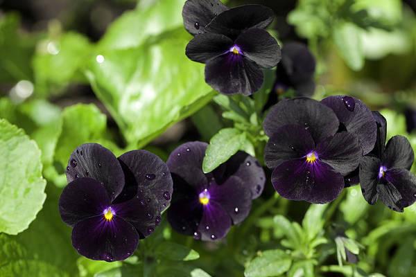viola cornuta black delight