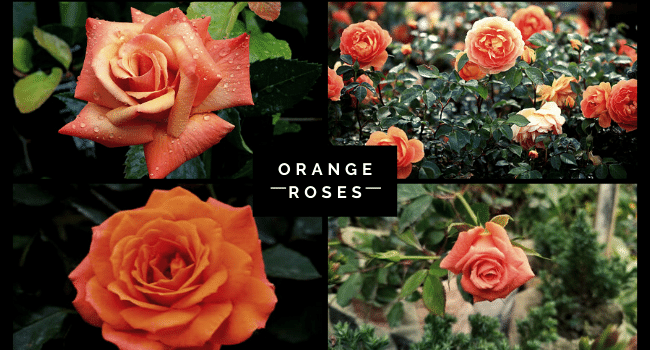 Orange Roses Symbolism, Growing Tips & Images