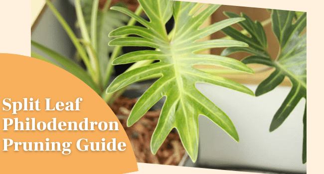 Split Leaf Philodendron Pruning Guide