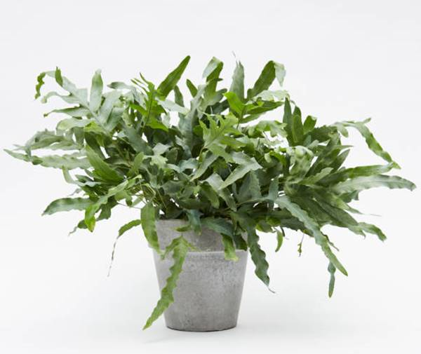 blue star fern in container