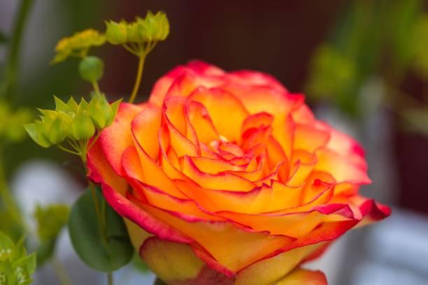 orange rose close-up