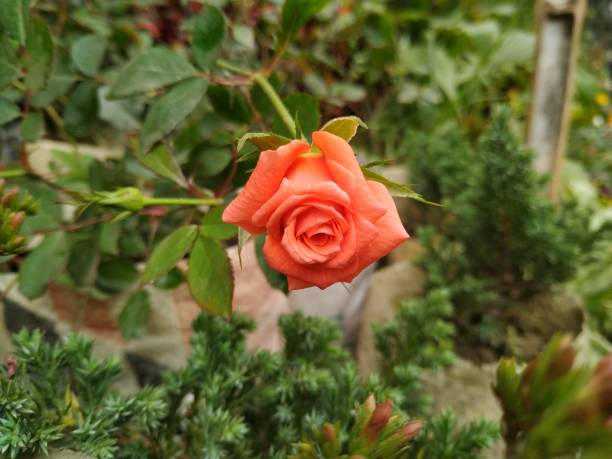orange rose blooming on a stem