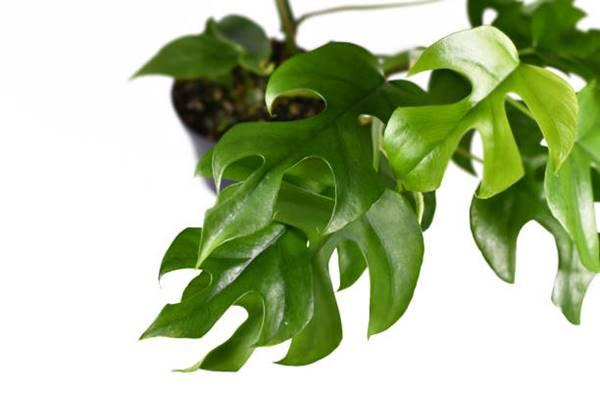 Tropical Rhaphidophora Tetrasperma close-up