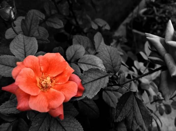rose in a black backdrop