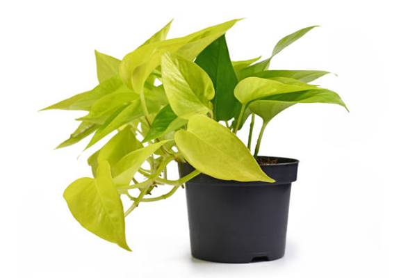 neon pothos in container