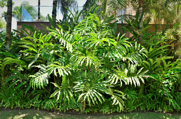 Philodendron bipinnatifidum in a container