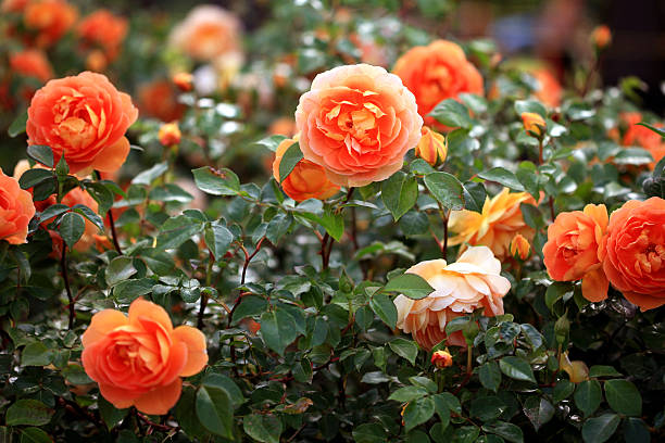 orange rose blooms on rose plant