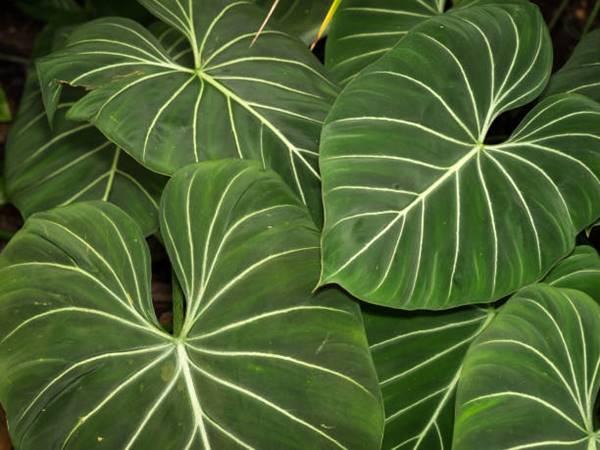 Philodendron gloriosum close-up