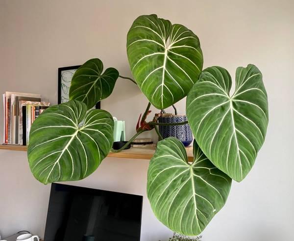 philodendron gloriosum indoors
