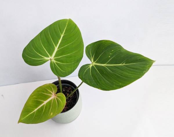 philodendron gloriosum in container