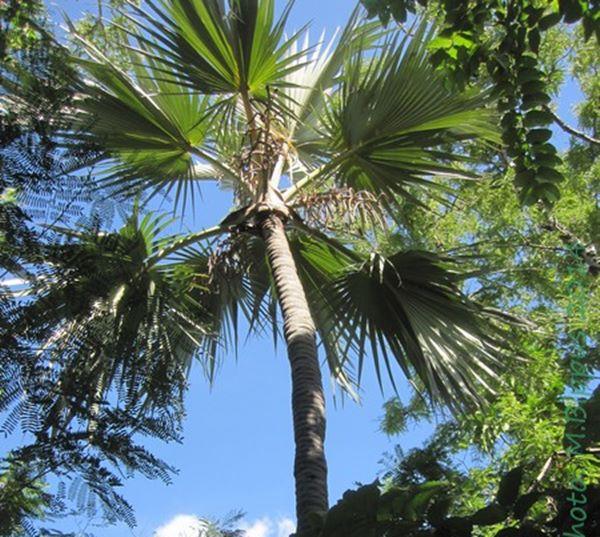Lantania palm (latan palm)