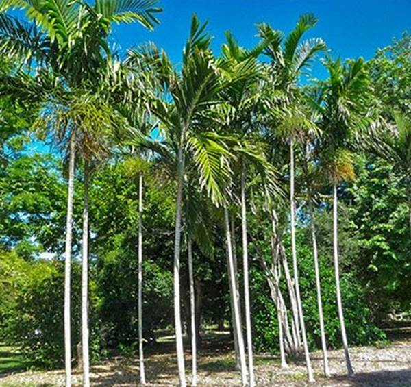 Alexander Palm Tree or Alexander Palm Tree