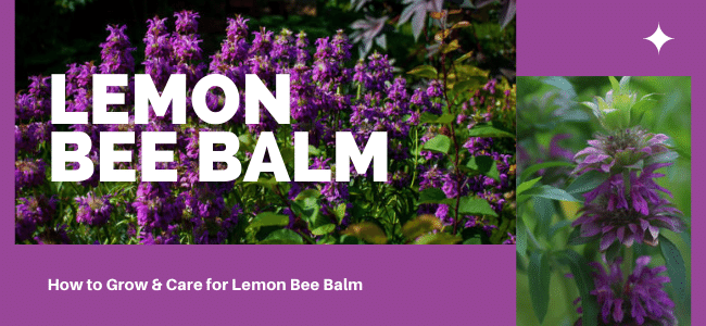 How to grow Lemon bee Balm