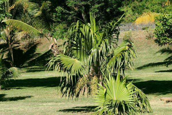 Chinese fan palm or Livistona chinensis