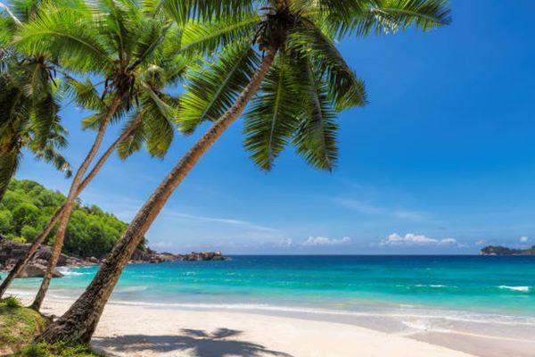 Coconut Palm Tree or Cocos nucifera