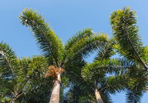 Wodyetia bifurcata (foxtail palm trees)