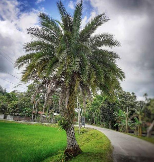 Phoenix sylvestris or silver date palm