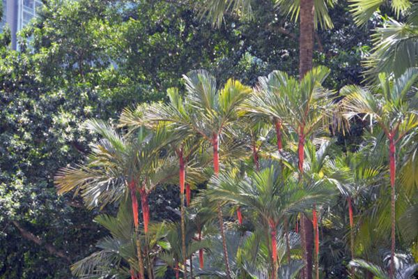 Cyrtostachys renda palm (red sealing wax palm)