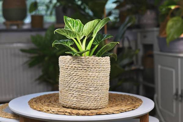 philodendron birkin in container