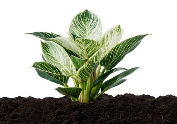 philodendron birkin in soil