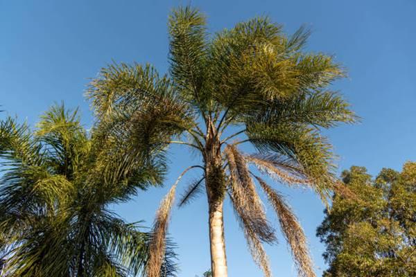Queen palm or Syagrus romanzoffiana)