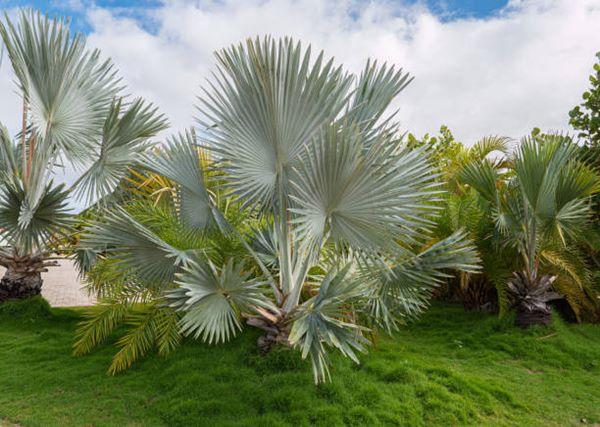 Bismarckia Nobilis (blue palm) Bismarckia palms